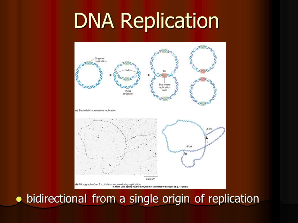 DNA Replication bidirectional from a single origin of replication