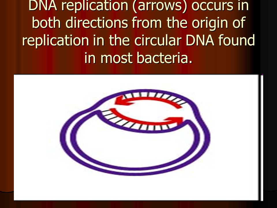 DNA replication (arrows) occurs in both directions from the origin of replication in the circular DNA found in most bacteria.