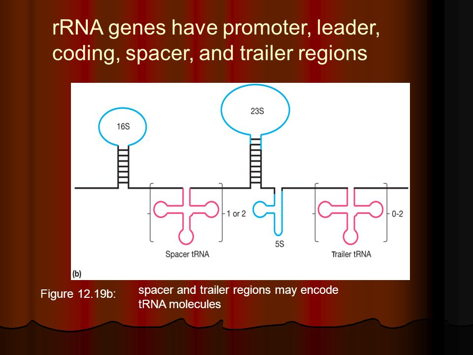 rRNA genes have promoter, leader, coding, spacer, and trailer regions