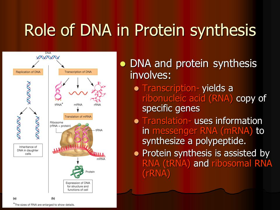 Role of DNA in Protein synthesis