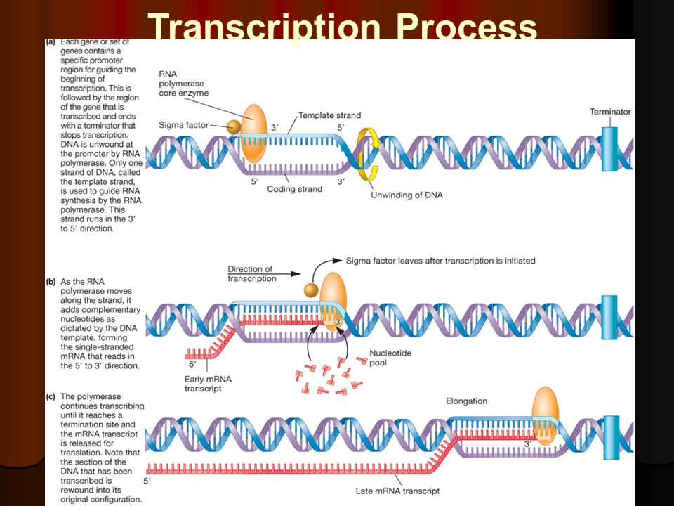 Transcription Process