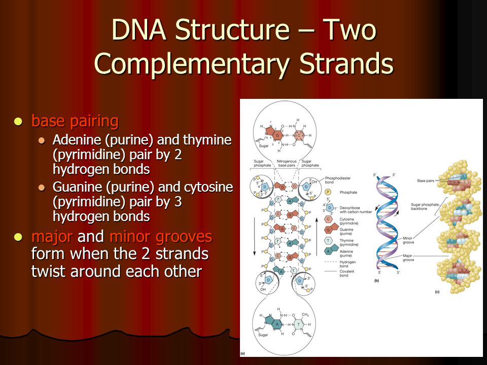 DNA Structure – Two Complementary Strands