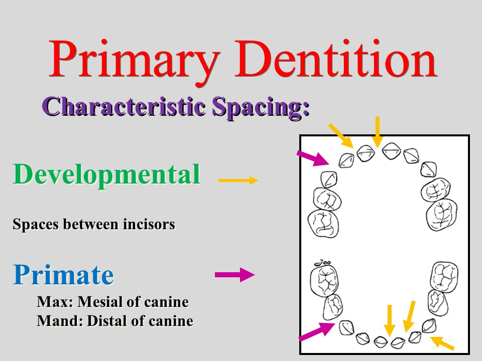 Primary Dentition Developmental Primate Characteristic Spacing: