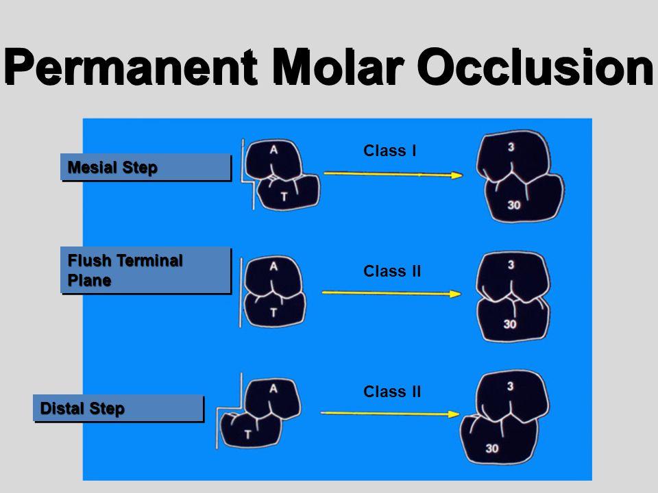 Permanent Molar Occlusion