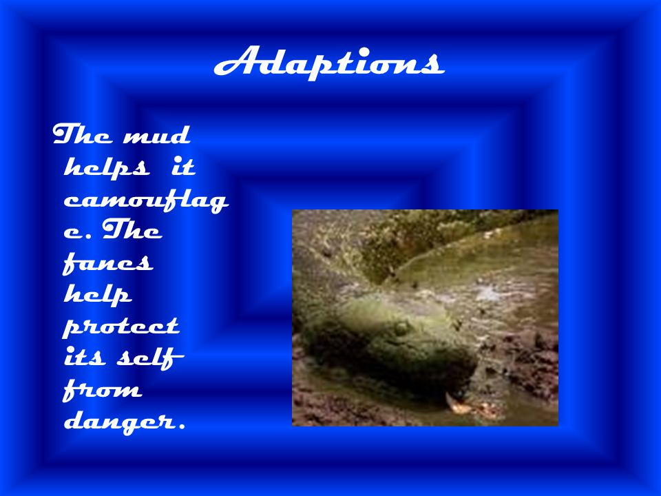 Adaptions The mud helps it camouflage. The fanes help protect its self from danger.