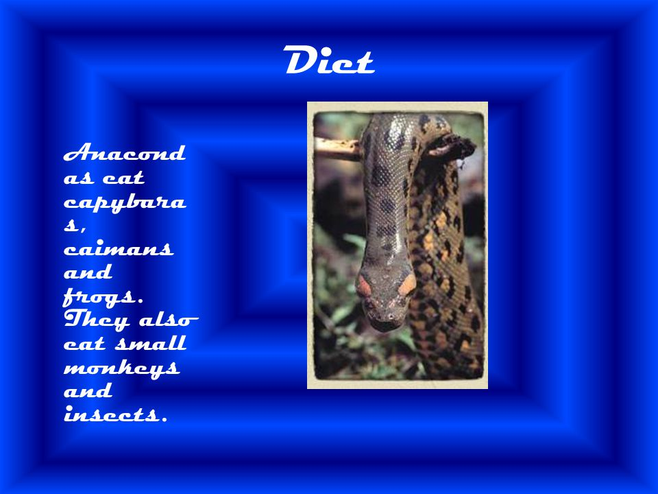 Diet Anacondas eat capybaras, caimans and frogs. They also eat small monkeys and insects.