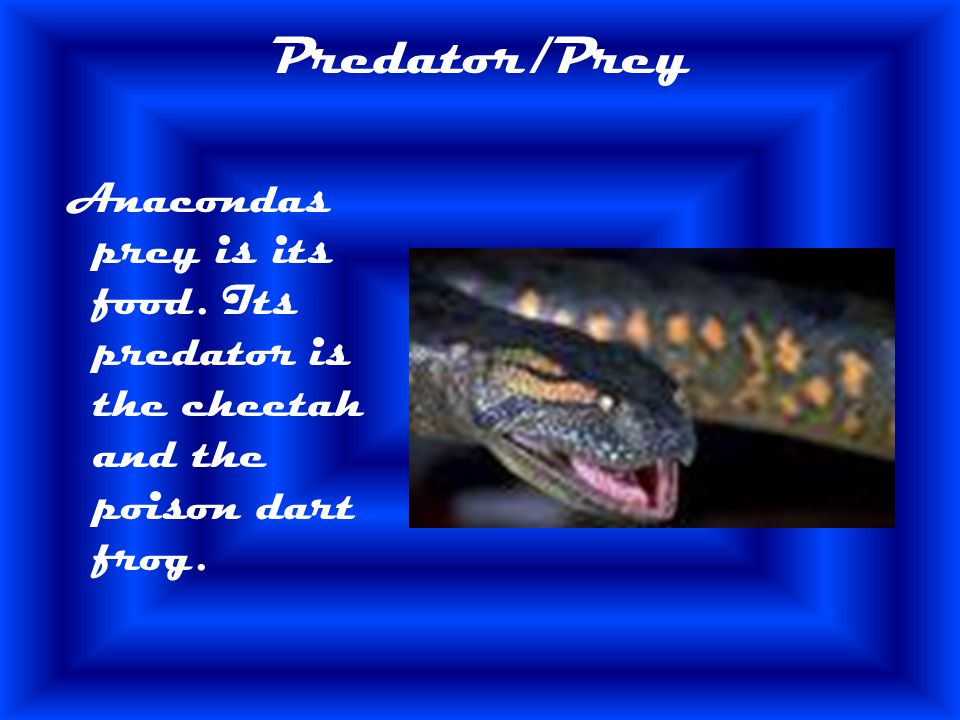 Predator/Prey Anacondas prey is its food. Its predator is the cheetah and the poison dart frog.