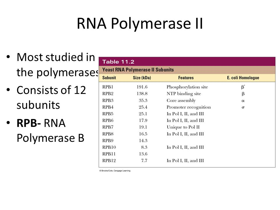 RNA Polymerase II Most studied in the polymerases