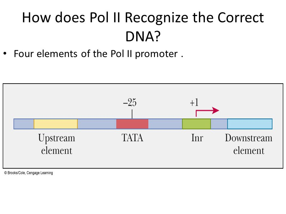 How does Pol II Recognize the Correct DNA