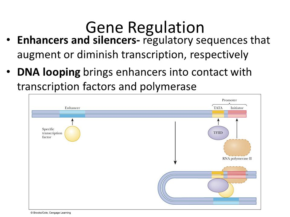 Gene Regulation Enhancers and silencers- regulatory sequences that augment or diminish transcription, respectively.