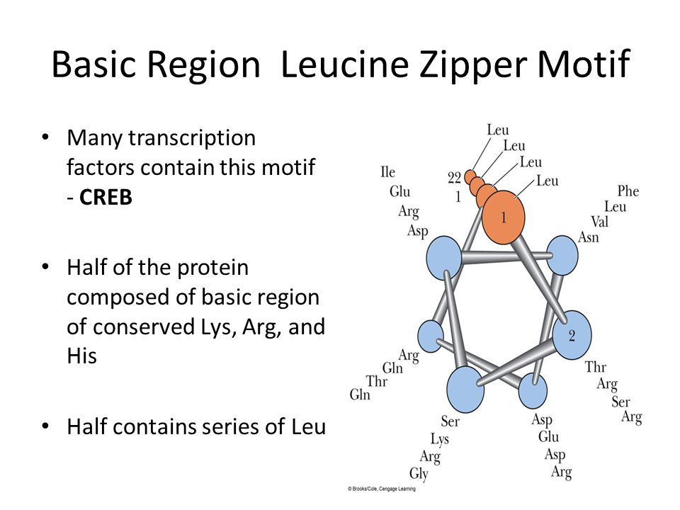 Basic Region Leucine Zipper Motif
