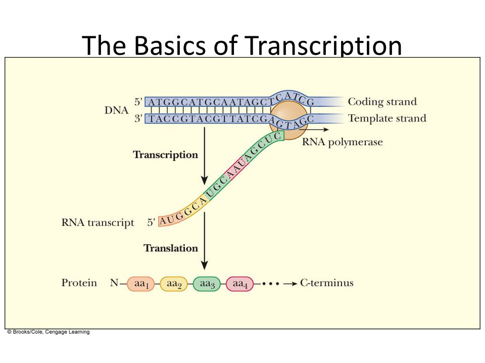 The Basics of Transcription