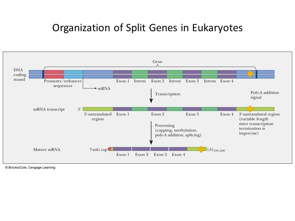 Organization of Split Genes in Eukaryotes