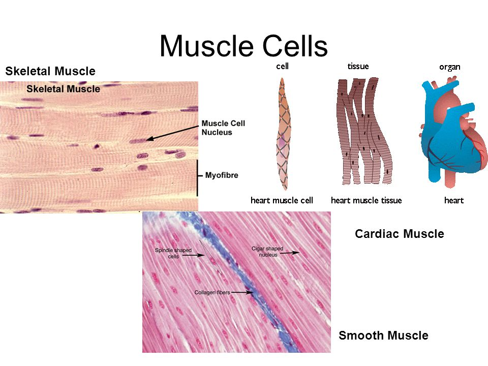 Muscle Cells Skeletal Muscle Cardiac Muscle Smooth Muscle