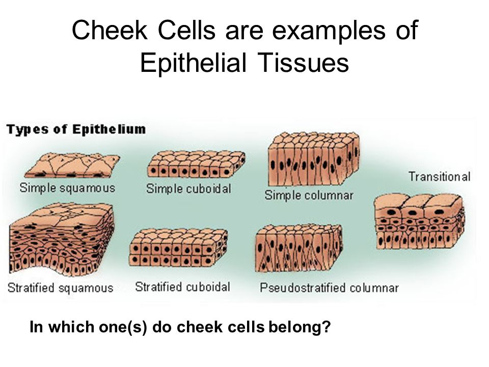 Cheek Cells are examples of Epithelial Tissues