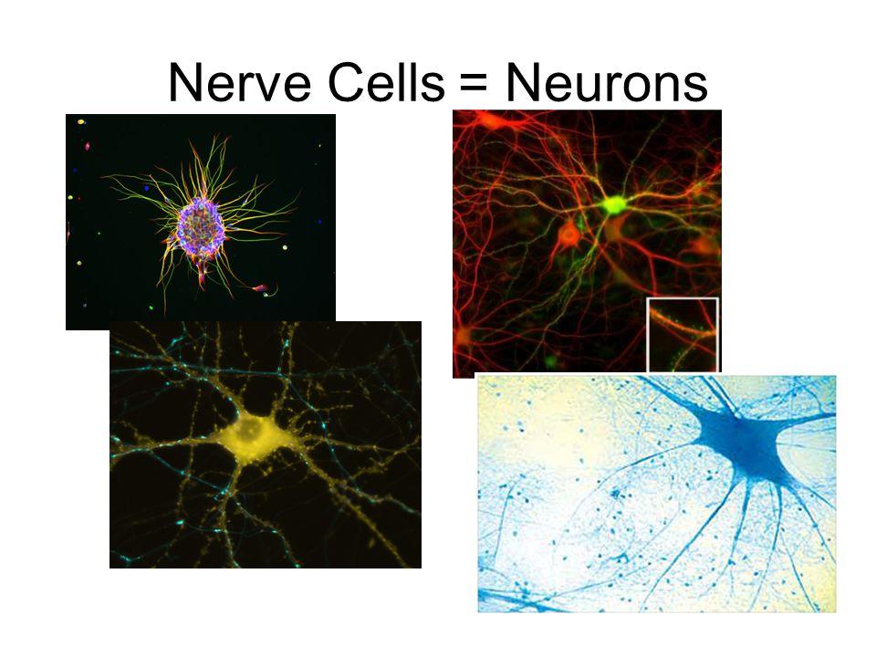 Nerve Cells = Neurons