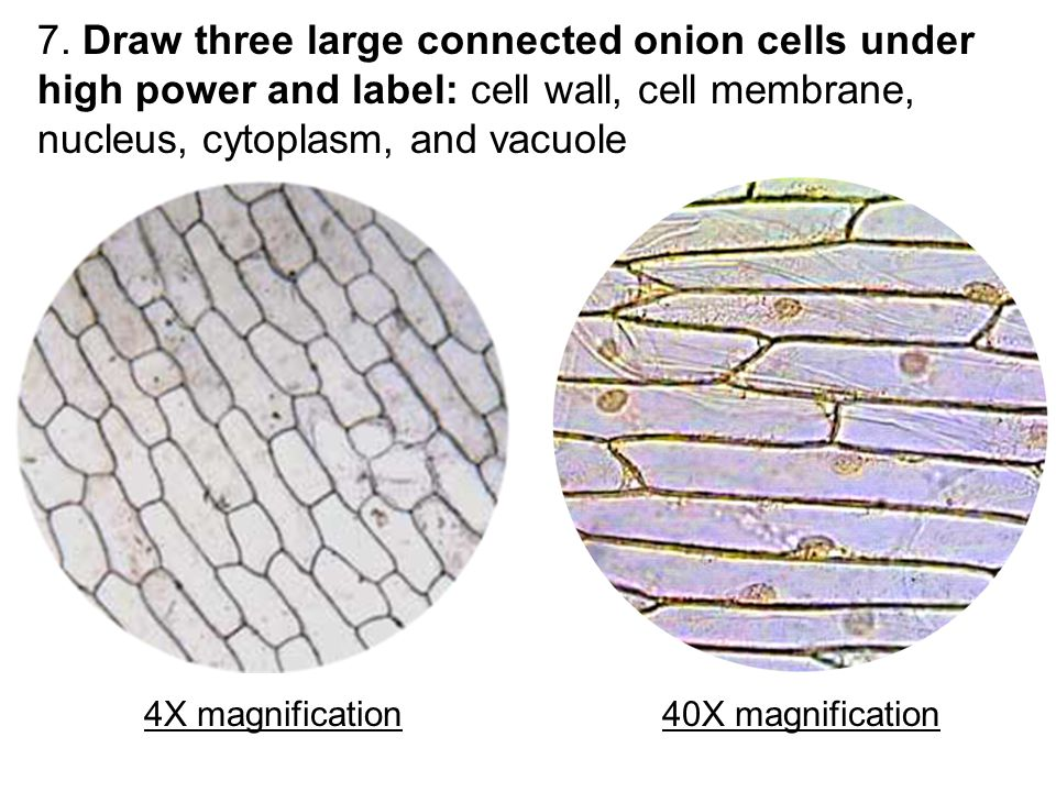 cell and light microscope Cell imaging by phonon microscopy sub-optical wavelength ultrasound for non -invasive imaging fig 1: simplified diagram of three.