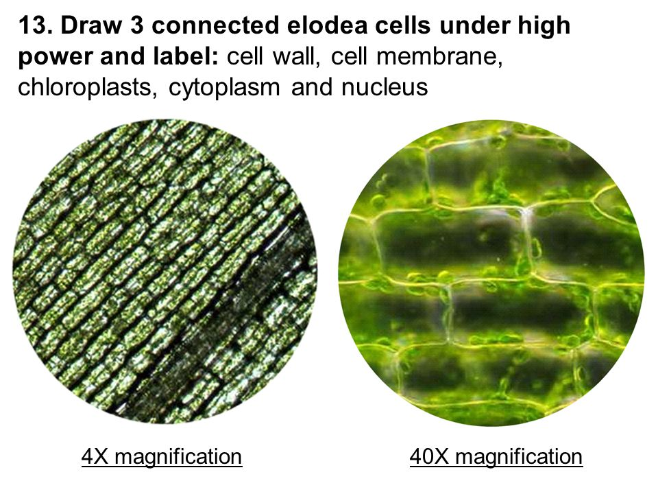13. Draw 3 connected elodea cells under high power and label: cell wall, cell membrane, chloroplasts, cytoplasm and nucleus