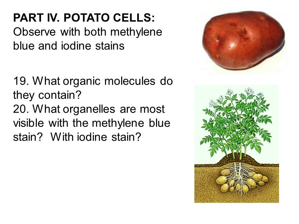 PART IV. POTATO CELLS: Observe with both methylene blue and iodine stains