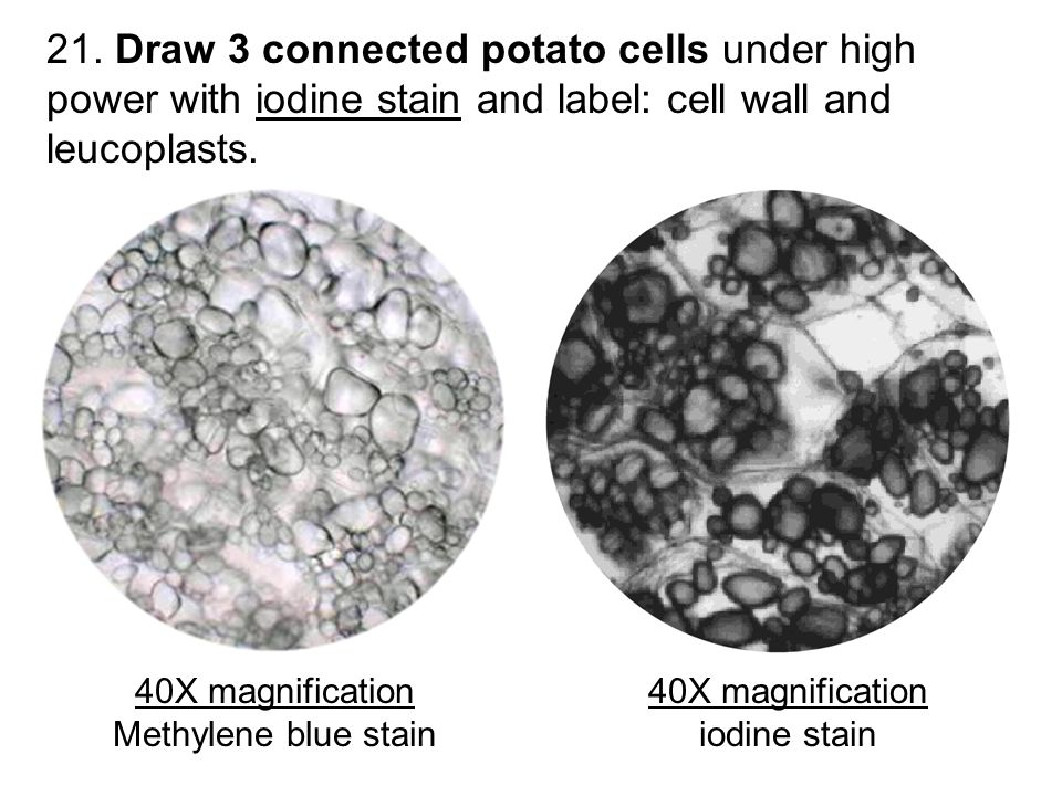 21. Draw 3 connected potato cells under high power with iodine stain and label: cell wall and leucoplasts.