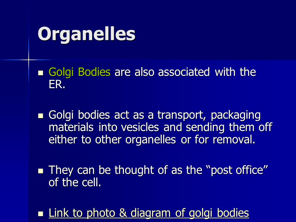 Organelles Golgi Bodies are also associated with the ER.