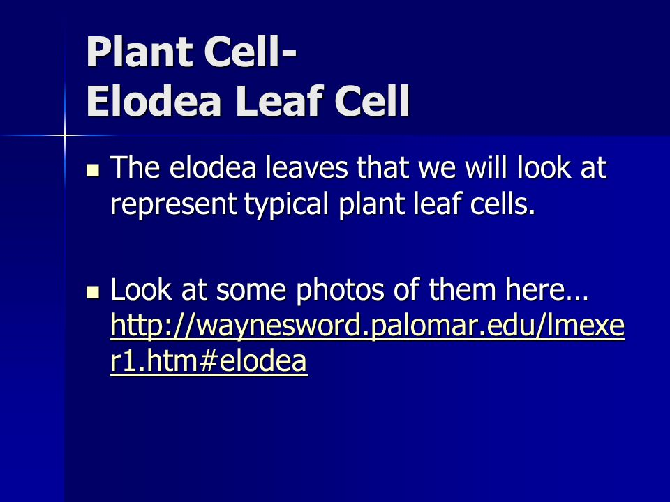 Plant Cell- Elodea Leaf Cell