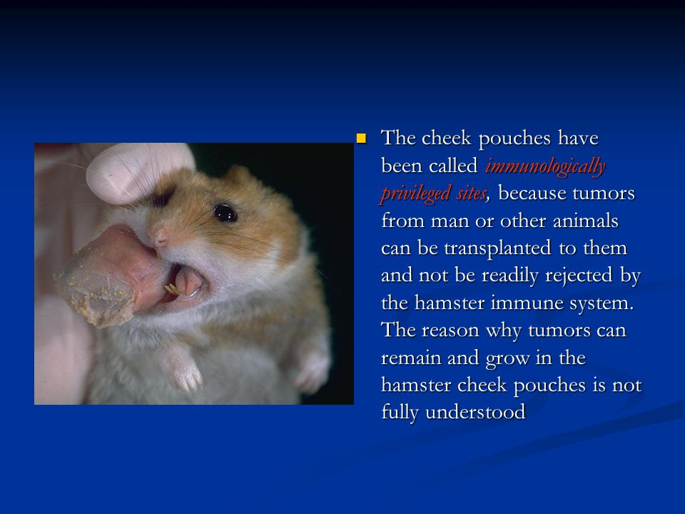 The cheek pouches have been called immunologically privileged sites, because tumors from man or other animals can be transplanted to them and not be readily rejected by the hamster immune system.
