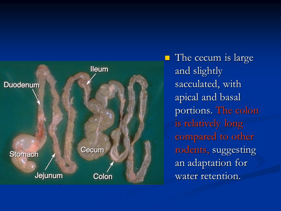 The cecum is large and slightly sacculated, with apical and basal portions.