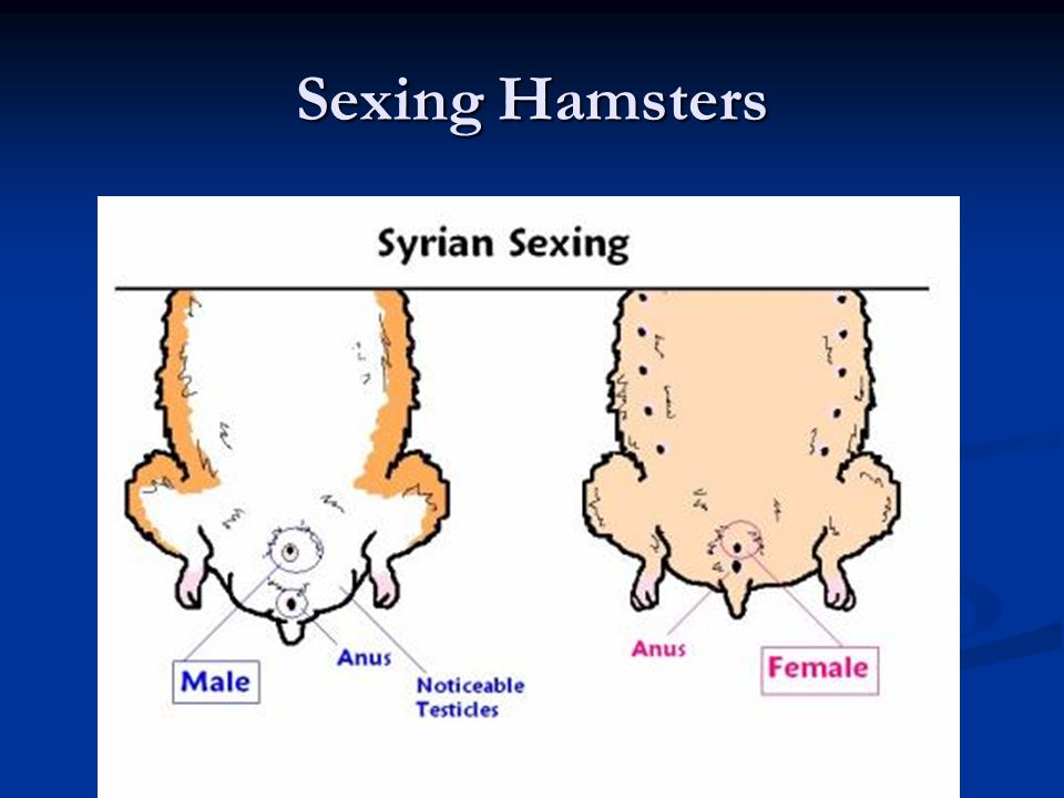 Sexing Hamsters