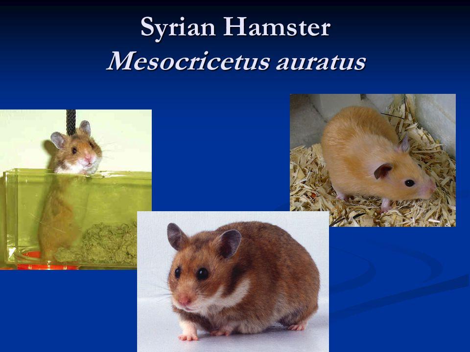 Syrian Hamster Mesocricetus auratus