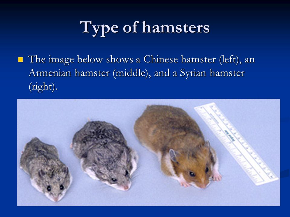 Type of hamsters The image below shows a Chinese hamster (left), an Armenian hamster (middle), and a Syrian hamster (right).