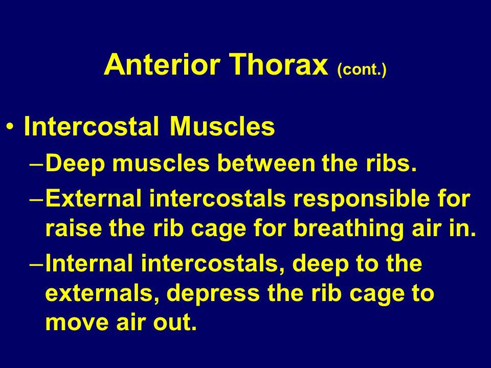 Anterior Thorax (cont.)