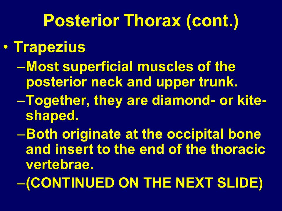 Posterior Thorax (cont.)
