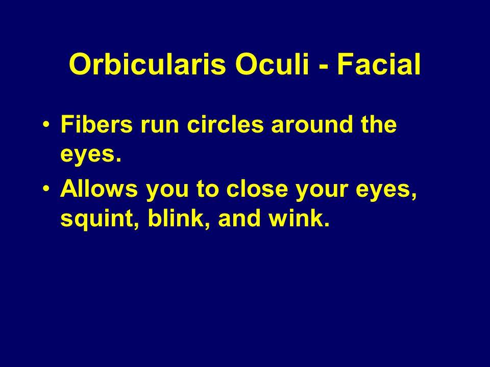 Orbicularis Oculi - Facial
