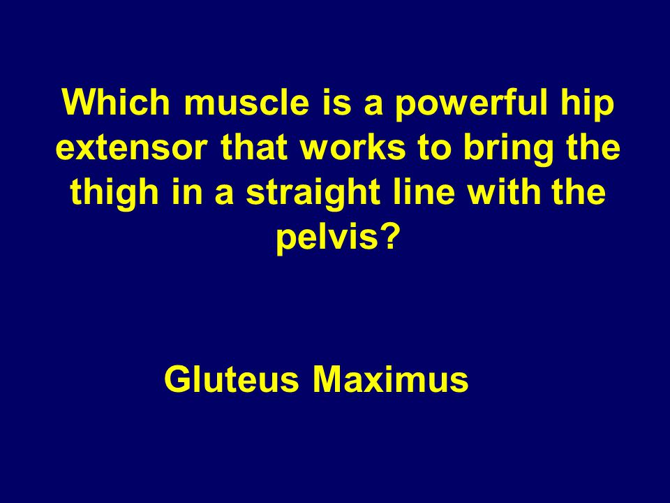 Which muscle is a powerful hip extensor that works to bring the thigh in a straight line with the pelvis