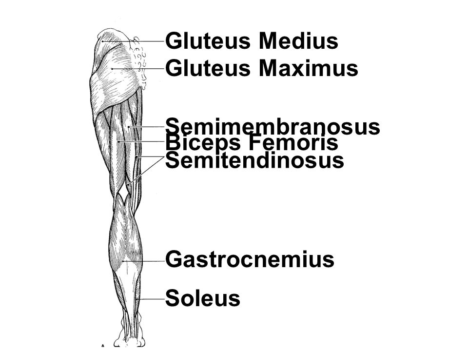 Gluteus Medius Gluteus Maximus Semimembranosus Biceps Femoris Semitendinosus Gastrocnemius Soleus