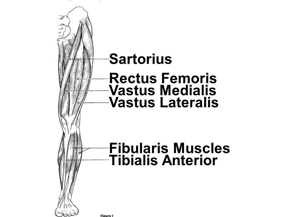 Sartorius Rectus Femoris Vastus Medialis Vastus Lateralis Fibularis Muscles Tibialis Anterior