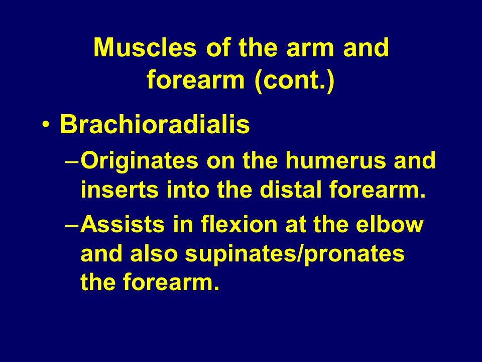 Muscles of the arm and forearm (cont.)