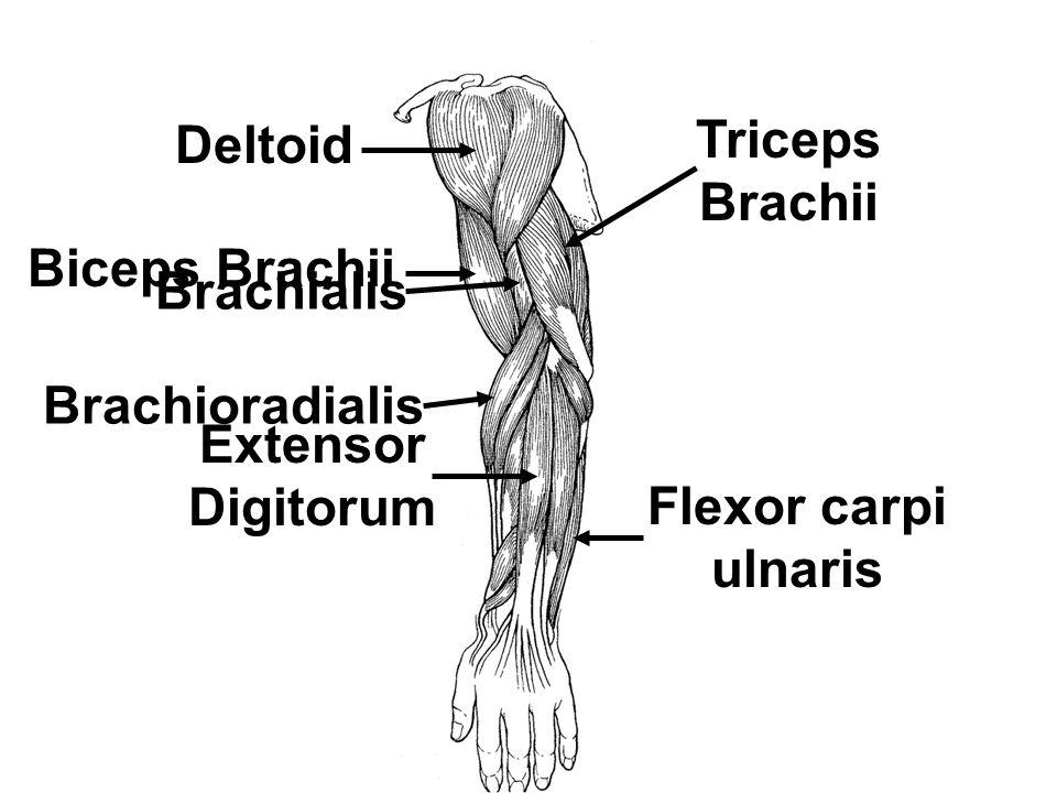 Deltoid Triceps Brachii. Biceps Brachii. Brachialis.