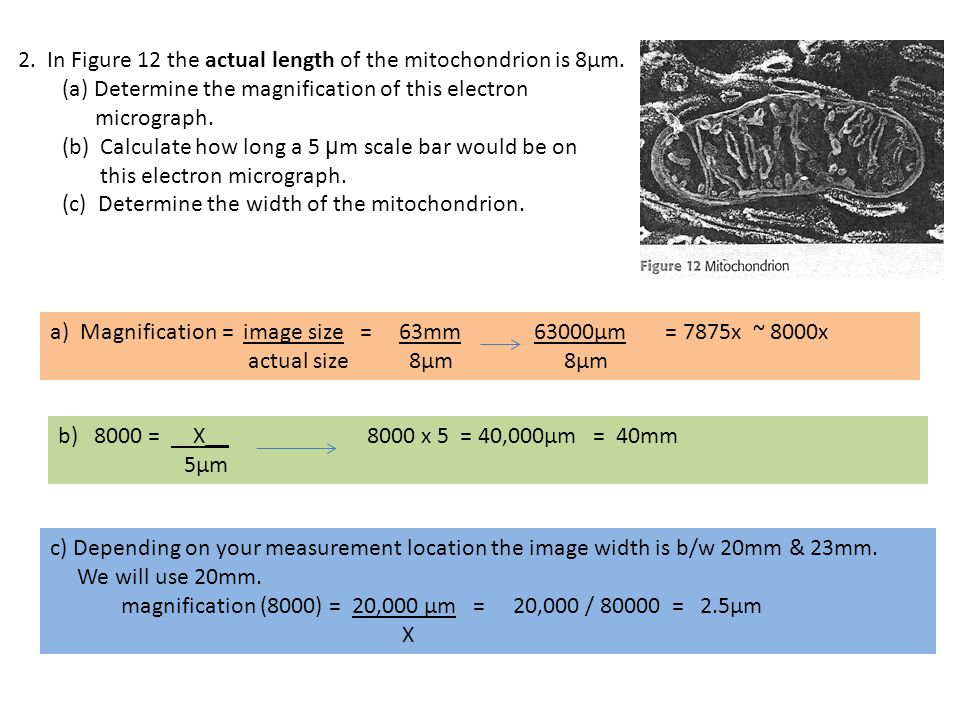 2. In Figure 12 the actual length of the mitochondrion is 8µm.