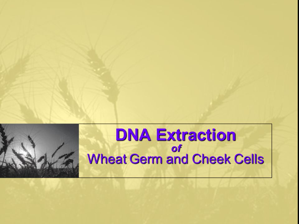 DNA Extraction of Wheat Germ and Cheek Cells