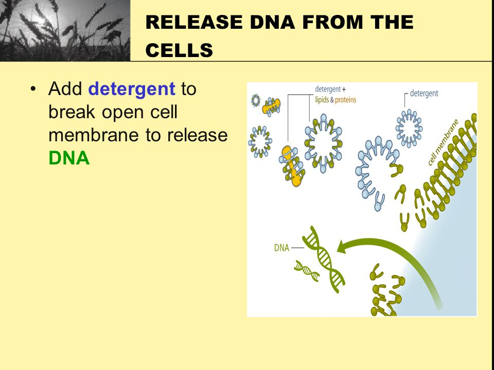 RELEASE DNA FROM THE CELLS