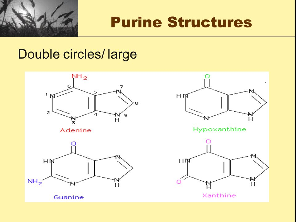 Purine Structures Double circles/ large