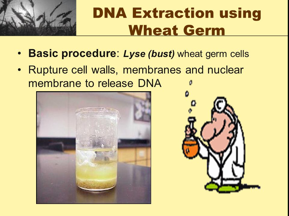 DNA Extraction using Wheat Germ