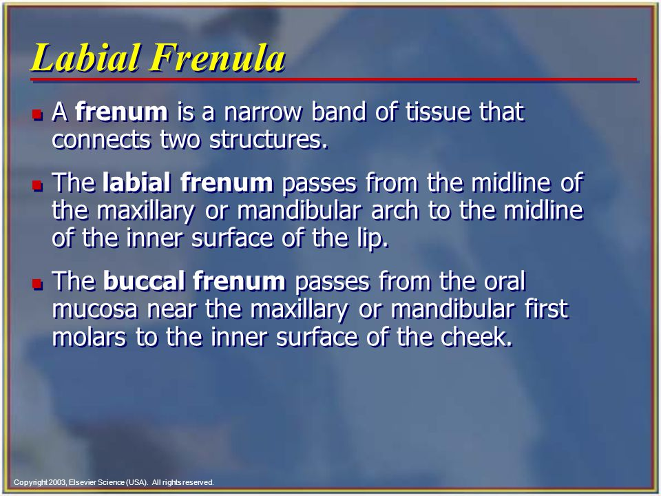 Labial Frenula A frenum is a narrow band of tissue that connects two structures.