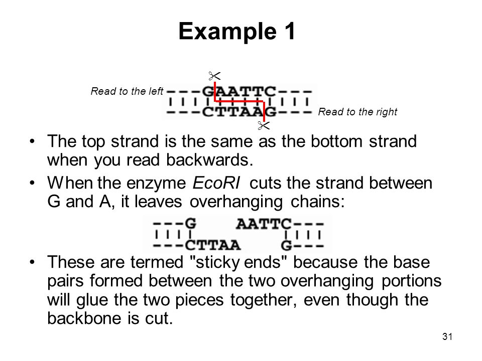 Example 1 Read to the left. Read to the right.  The top strand is the same as the bottom strand when you read backwards.