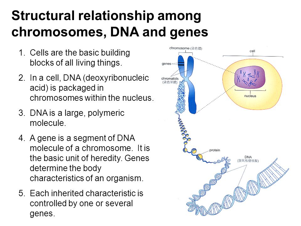 Structural relationship among chromosomes, DNA and genes