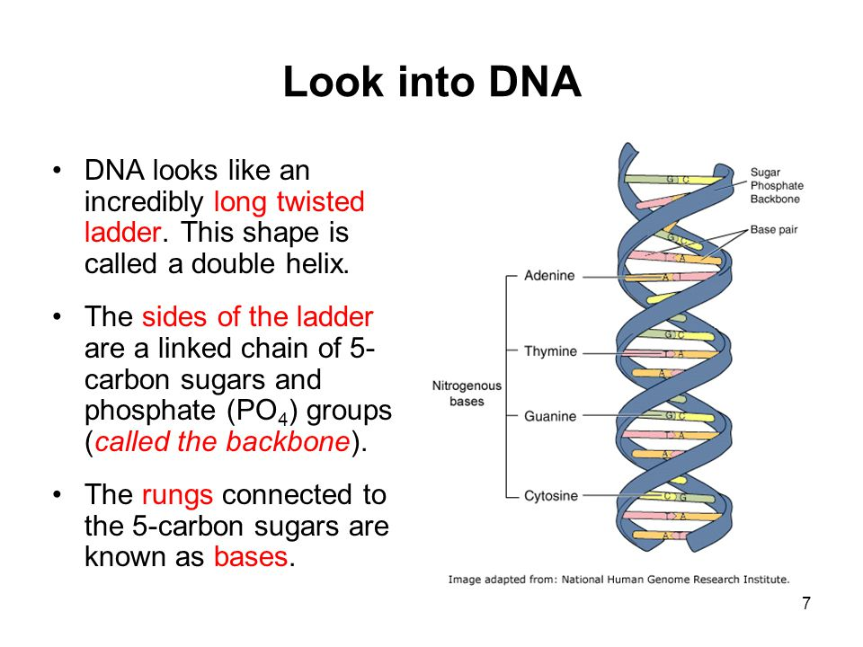 Look into DNA DNA looks like an incredibly long twisted ladder. This shape is called a double helix.
