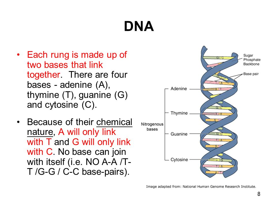 DNA Each rung is made up of two bases that link together. There are four bases - adenine (A), thymine (T), guanine (G) and cytosine (C).