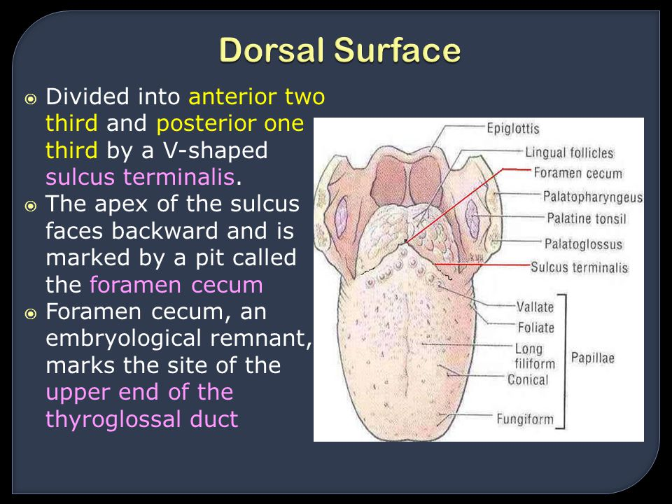 Dorsal Surface Divided into anterior two third and posterior one third by a V-shaped sulcus terminalis.